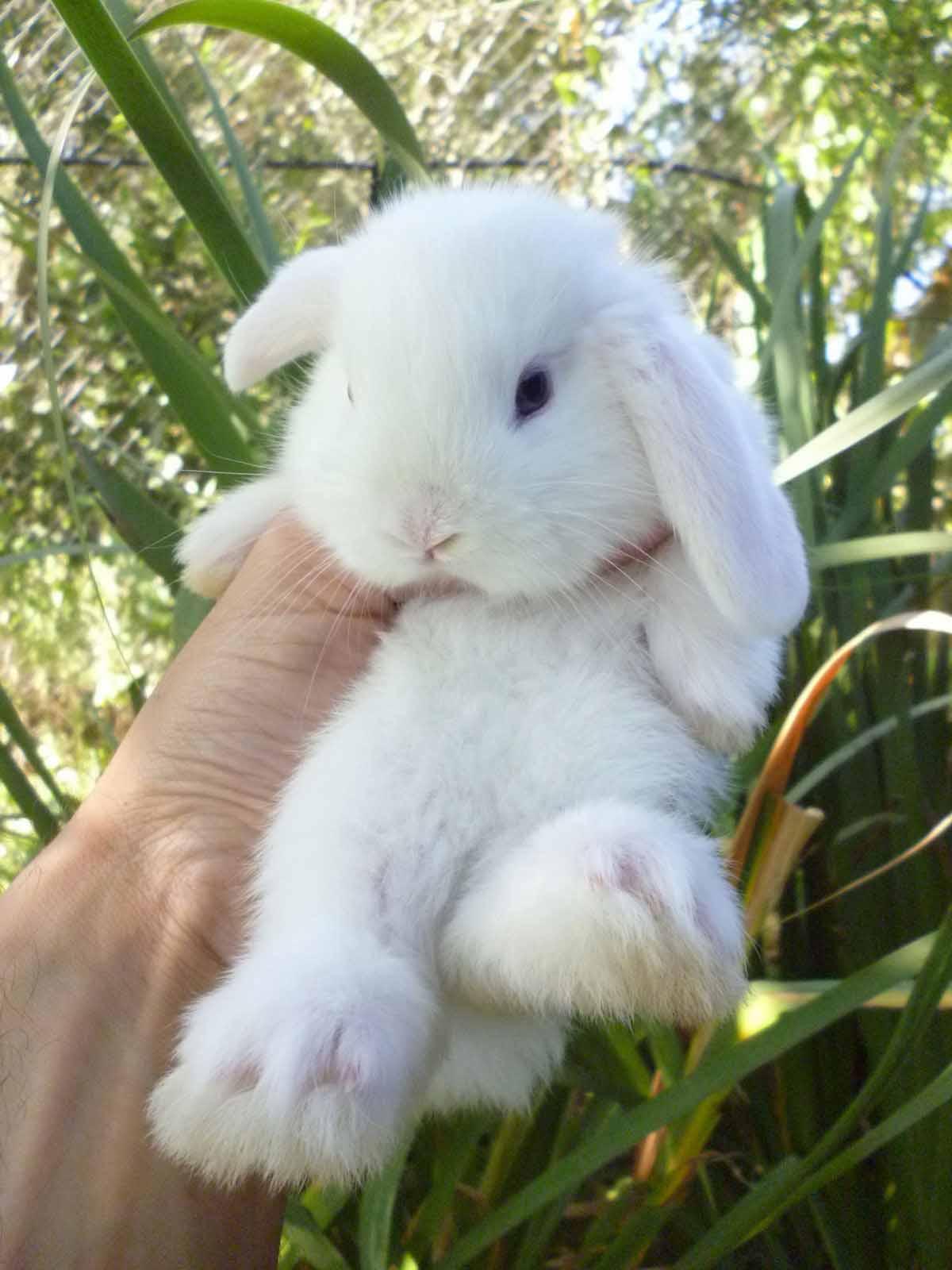 la nuova fattoria | conigli nani da compagnia | razze allevate